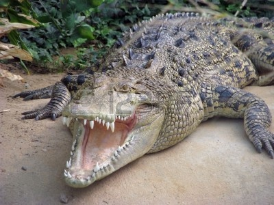 4344720-salt-water-crocodile